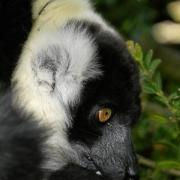 Lemuren im Parc des Felins