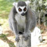 Lemur im Parc des Felins