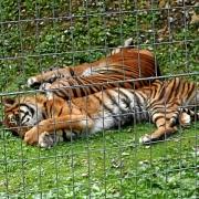 Tiger im Parc