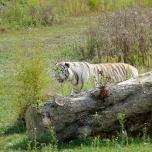 Weißer Tiger / Sibirischer Tiger