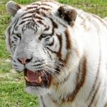 Nahaufnahme eines weißen Tigers