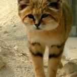 Kleine Wildkatze