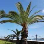 Palme an der Uferprommenade