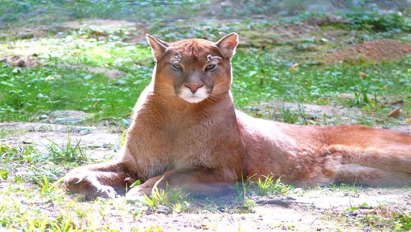 Parc des Felins - Wildkatzenpark in Nesles