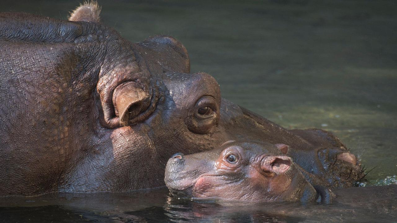 Mama mit Baby Nilpferd