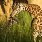 Wild Africa Trek – Guided Tour in Disney's Animal Kingdom