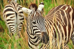 Zebras beim Wild Afric Trek im Animal Kingdom