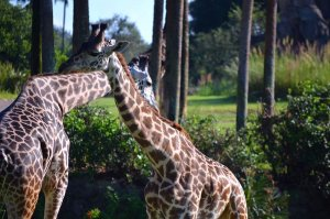 Giraffen bei der Guided Tour Wild Africa Trek