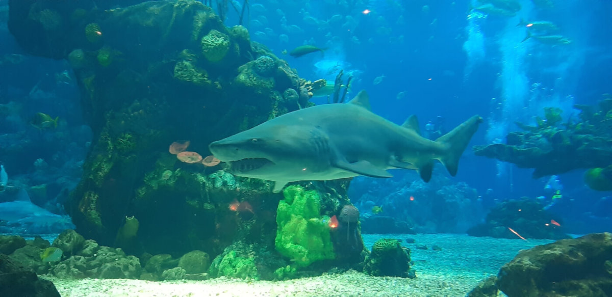 """ein Hai im Aquarium des """"Coral Reef Restaurants"""""""