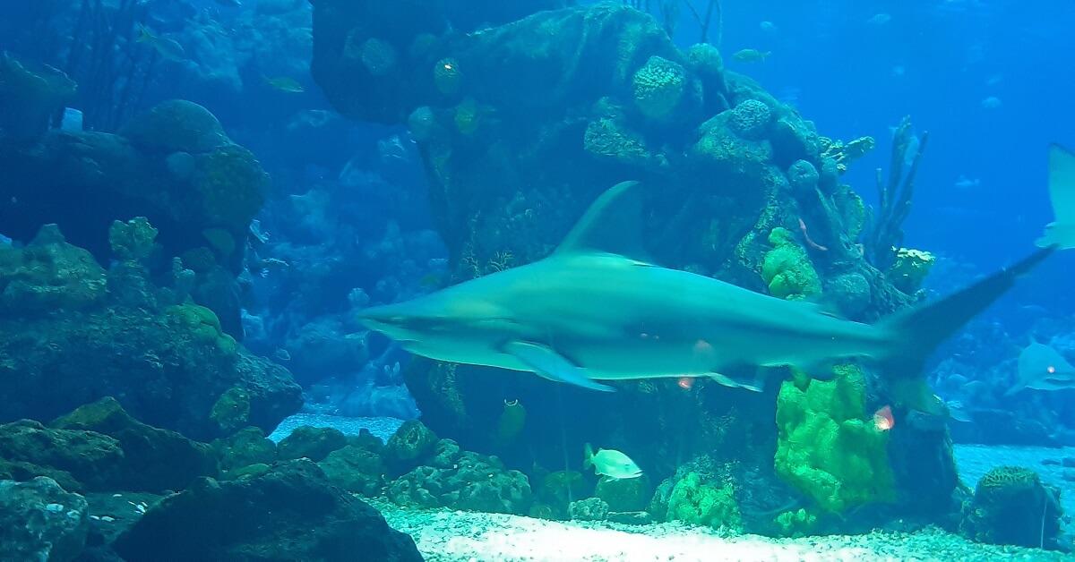 ein Hai schwimmt im großen Aquarium des Coral Reef Restaurants