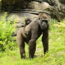 Ein Gorilla mit Baby auf dem Rücken ist im Gorilla Falls Exploration Trail in Disney's Animal Kingdom zu sehen