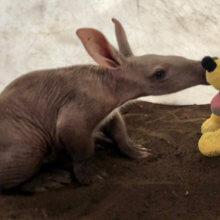 Das Erdferkelbaby Kangara sitzt auf dem Boden und beschnuppert ein Pluto Plüschtier,