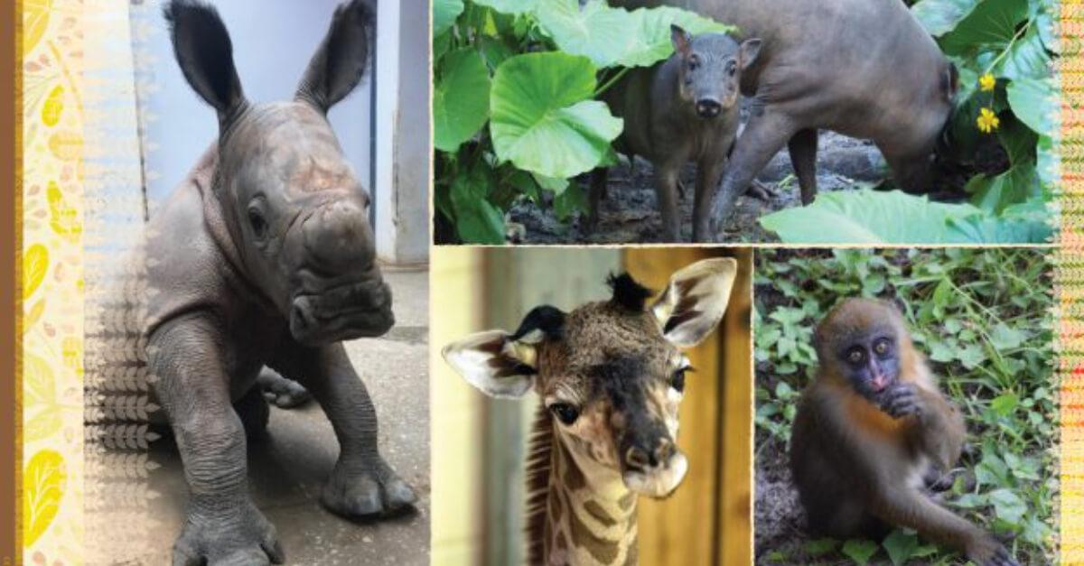 Wir sehen einige der Tierbabys, die 2020 bei Disney geboren wurde. Ein Nashornbaby, ein Giraffenbaby, ein Mandrillenbaby und ein Hirscheberbaby.