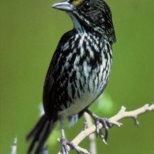 Ein Schwarzer Strandammer, ein kleiner Vogel, sitzt auf einem Ast