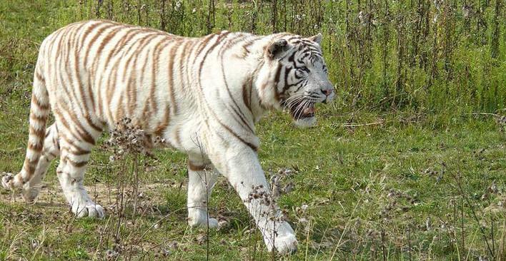 Bild eines Weißen Tigers aus dem Parc des Felins